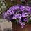 Thumbnail: Petunia Surfinia Heavenly Blue