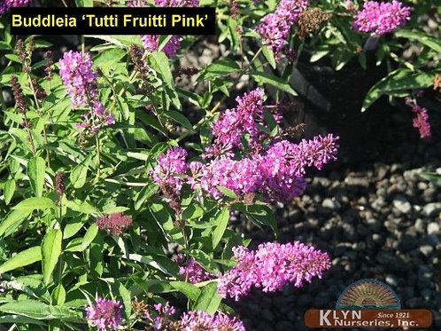Buddleia Tutti Fruitti / Butterfly Bush