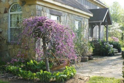 Cercis c. Lavender Twist / Covy Redbud