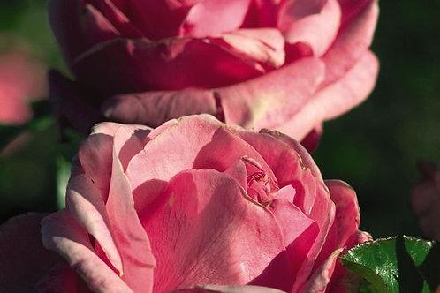 Rosa Easy Elegance Grandma's Blessing