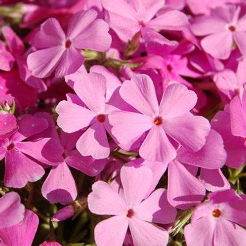 Phlox s. Drummond Pink