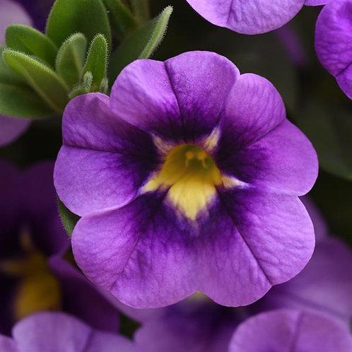 Calibrachoa Can Can Bumblebee Blue