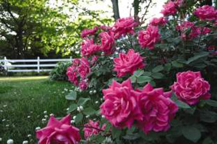 Rosa Knock Out Pink Double