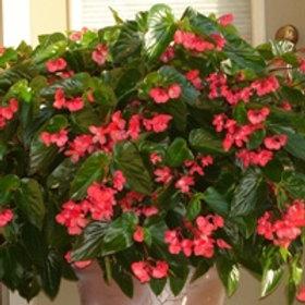 Begonia x Dragon Wing Red