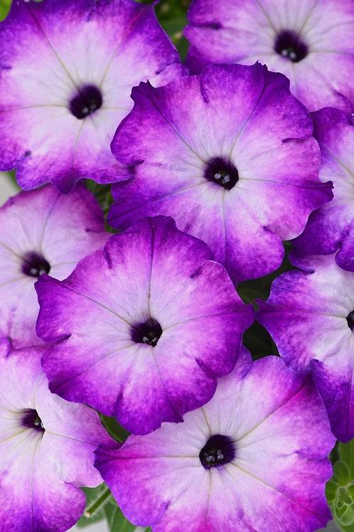 Petunia Crazytunia Purple Storm