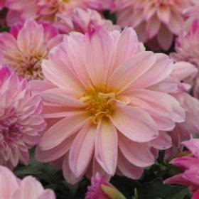 Dahlia Starsister Pink Picotee