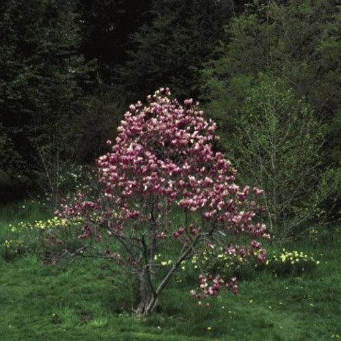 Magnolia x Ann