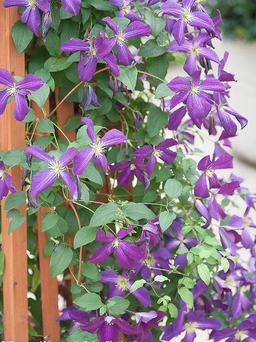 Clematis Happy Jack Purple