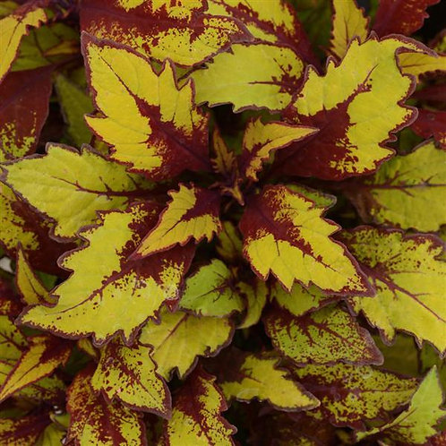 Coleus Flamethrower Spiced Curry