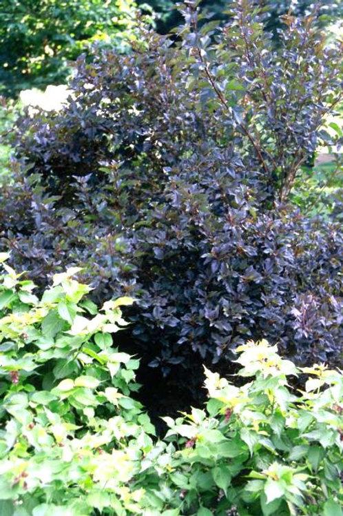 Physocarpus Summer Wine