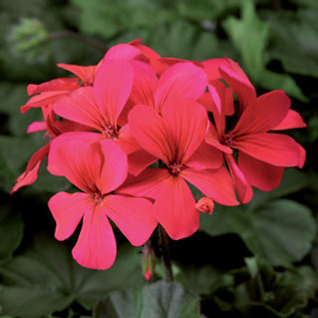 Geranium Caliente Series