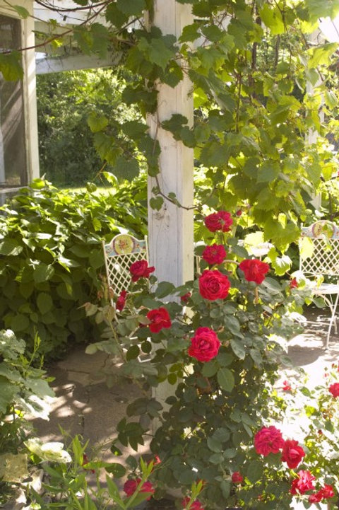 Rosa Ramblin Red