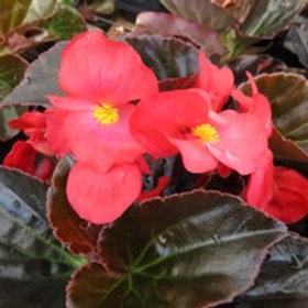 Begonia fib Whopper Red w/ Bronze Leaf