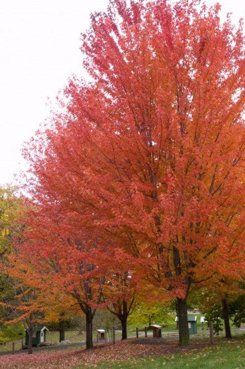 Acer x freemanii Autumn Blaze / Maple