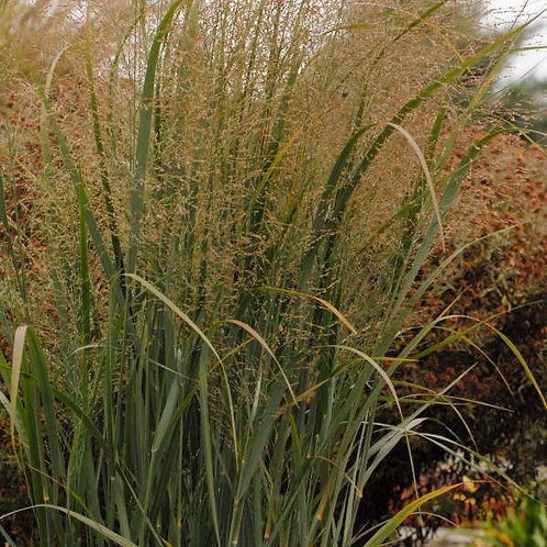 Panicum v. Northwind / Switch Grass
