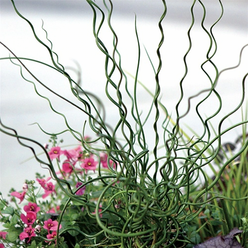 Grass - Juncus Big Twister