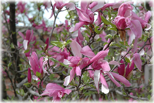 Magnolia x Betty