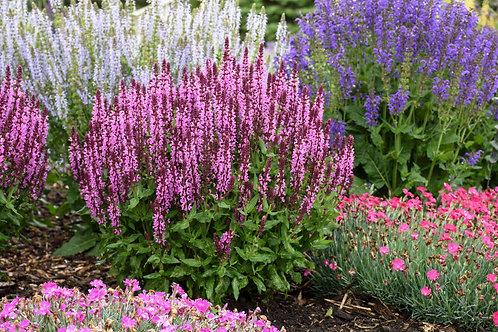 Salvia n. Pink Profusion