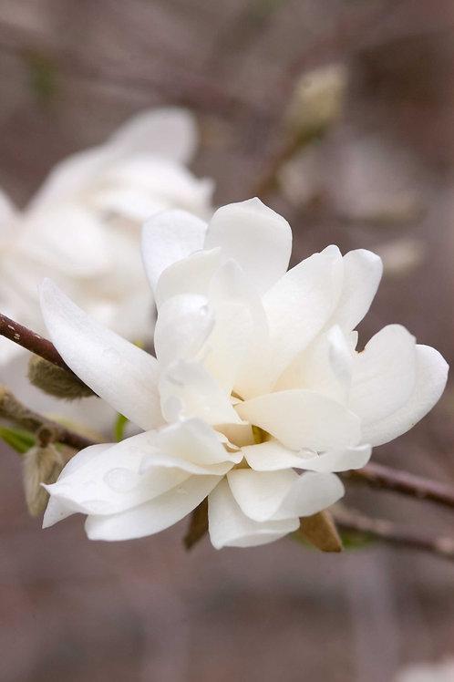 Magnolia Merrill