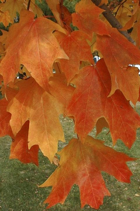 Acer sac. Fall Fiesta / Sugar Maple