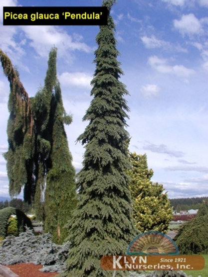 Picea g. Pendula (Weeping White Spruce)