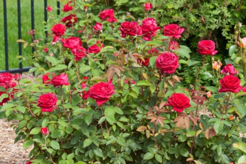 Rosa Easy Elegance Kashmir