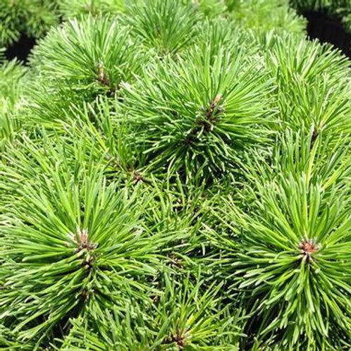 Pinus mugo Valley Cushion