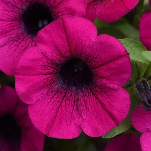Petunia ColorRush Purple