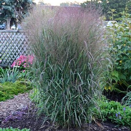 Panicum v. Apache Rose / Switch Grass