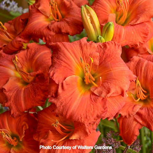 Daylily - Desert Flame