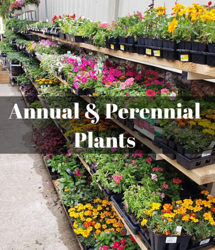 Annual and Perennial Plants