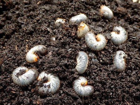 Close up of white grubs burrowing into t