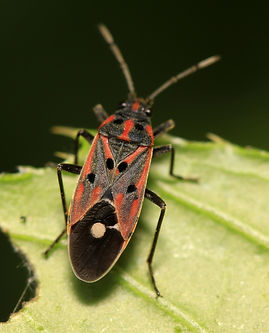 chinch bug on plant in the wild.jpg