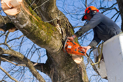 A tree surgeon cuts and trims a tree.jpg
