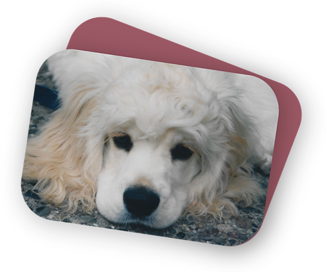 photo of 6-month-old Alex, a blond cocker spaniel with black nose and eyes