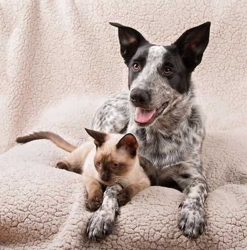 herdingdog_SiameseKitten.jpg