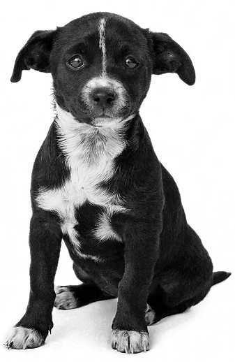 adorable-black-puppy.png