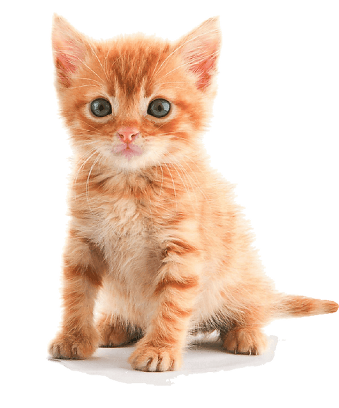 kitten-orange-tabby.png