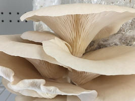 Plant Chicago & Chicago Social Mycology introduce workshop on growing gourmet mushrooms