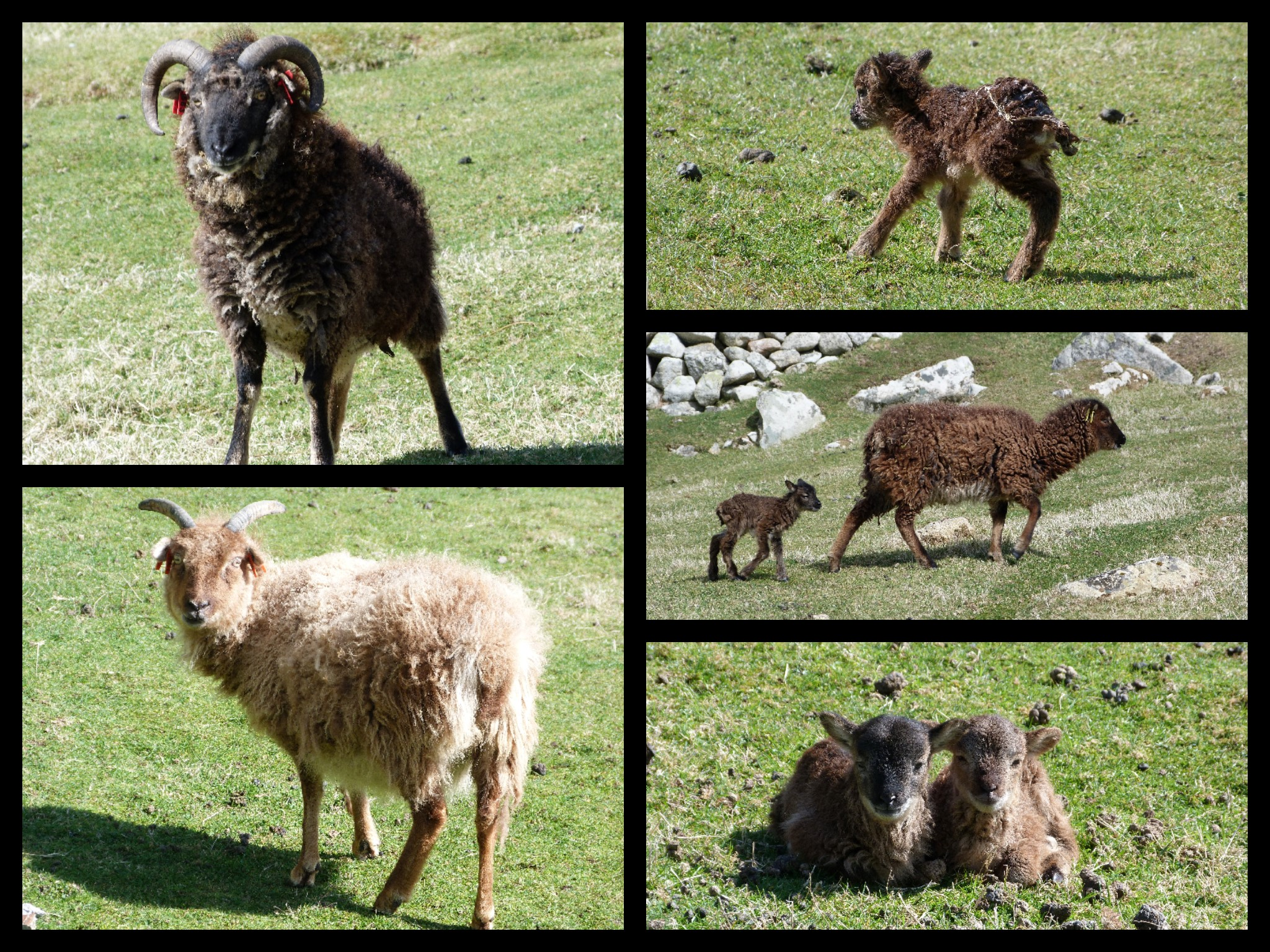 Varying colours of Soay sheep
