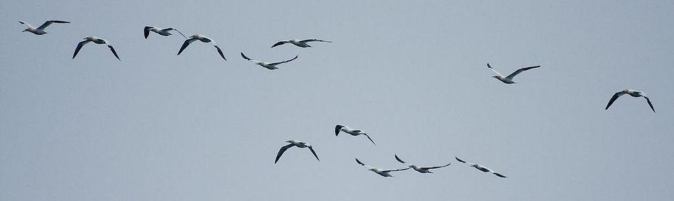 Northern Gannets St Kilda