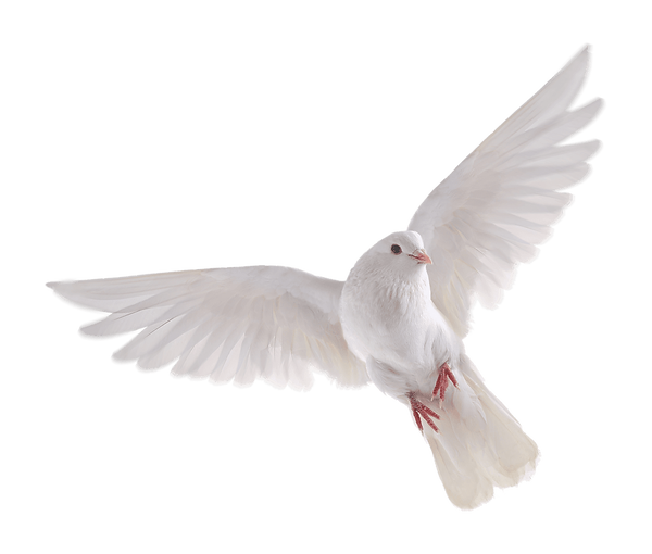white_dove_on_a_transparent_background__