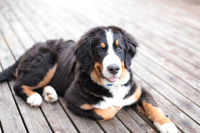 6 months old Bernese Mountain Dog on porch
