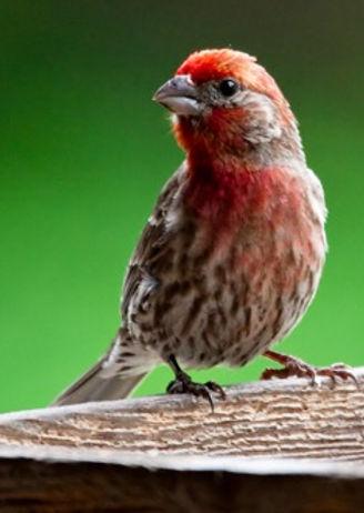 ROTR Red Bird.jpg