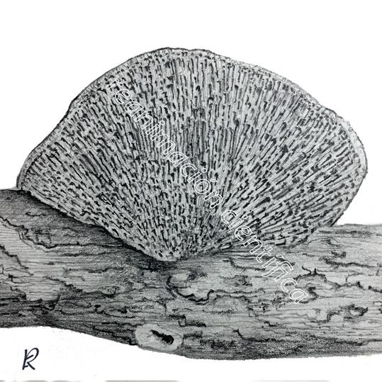 Daedalopsis confragosa (Lápiz)