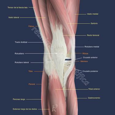 Estructura rodilla