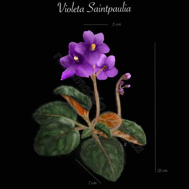Violeta Saintpaulia