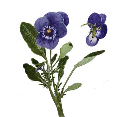 Viola Cornuta (Acuarela)
