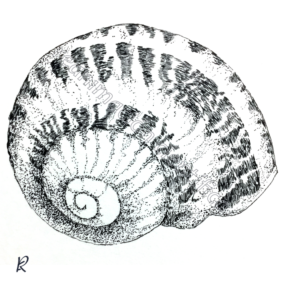 Helix aspersa (Tinta china)