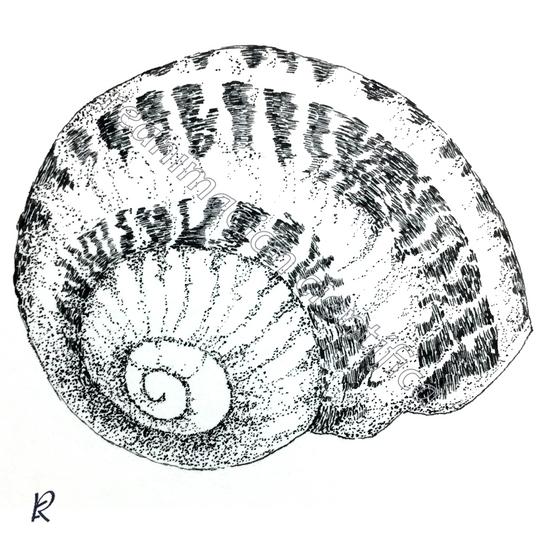Helix aspersa (Tinta china)